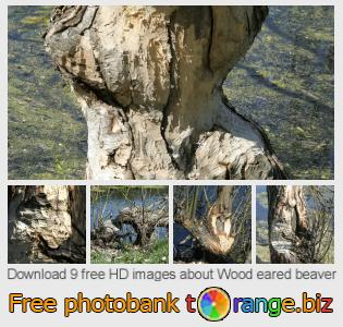 images free photo bank tOrange offers free photos from the section:  wood-eared-beaver