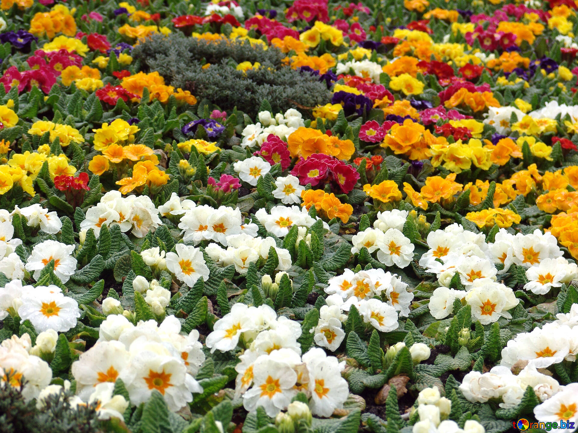 Flowers In The Flowerbed Yellow White Red Blue Flowers In The