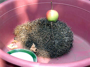 Hedgehog in basin with an apple №591