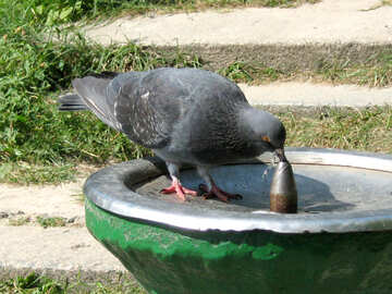 Dove drinking water from fountain №577