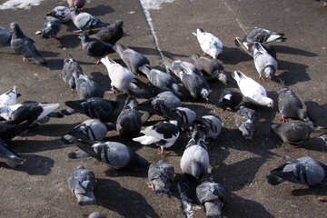 A flock of pigeons pecking crumbs on the pavement №512