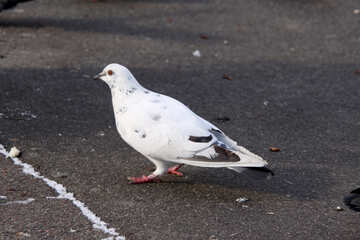 White dove on the pavement №478