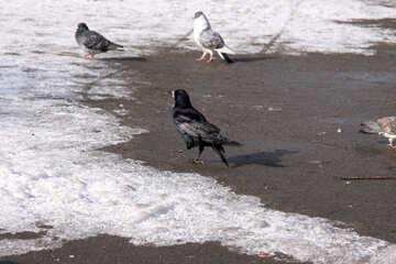 The black crow walks