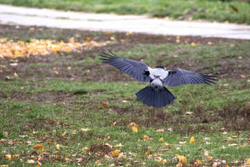 Crow flies low over the grass №776