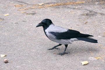 Crow walks over nuts №778