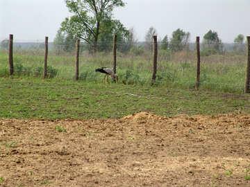 Stork on the field №574
