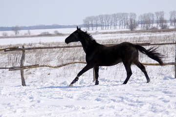 Black colt to gallop №471