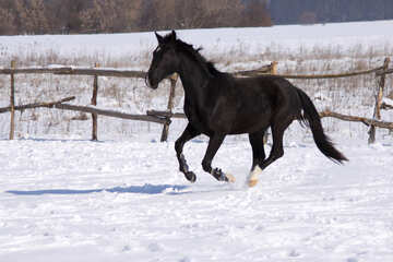 Black colt galloping №472