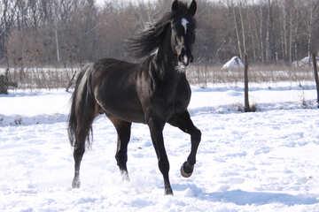 Black Stallion №469