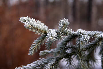 The branch of spruce in frost