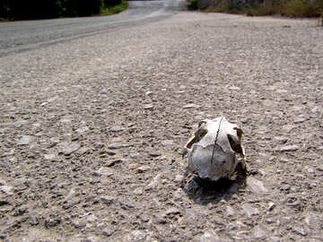 The skull of an animal on the road №203