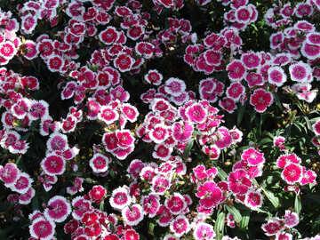 Ein Blumenbeet Nelken №191