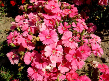 Turkish pink carnations №250
