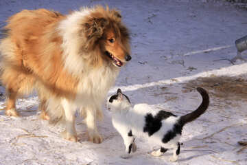 Cat and dog. Collie with cat №707