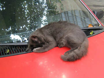 Cat sleeps on the hood of red car №618