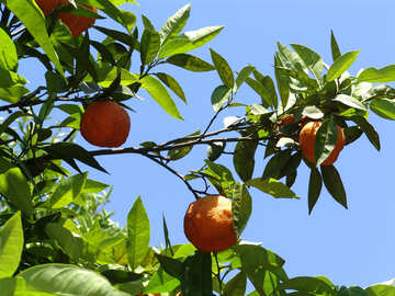 Апельсиновое дерево №196