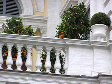 Orange trees on the balcony №325