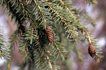 The branch of the larch cones №418
