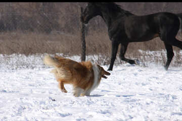 Colley dog run on snow №720