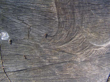 Saw cut of an old tree with ants creeping on it №555