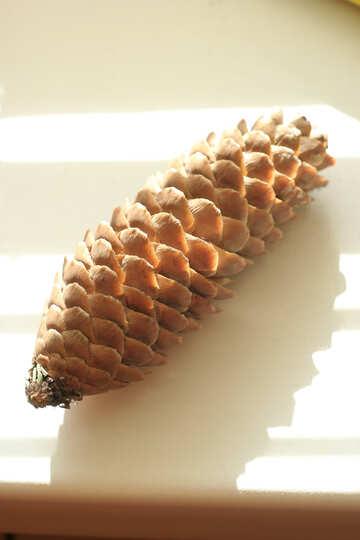 Cone pine №835