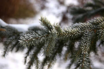 Rime of spruce branches