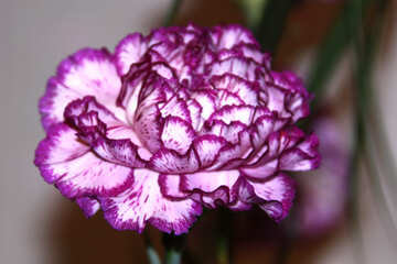Carnation flower №968