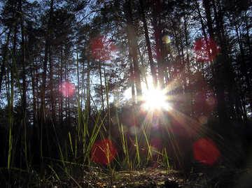 I raggi del sole nella pineta №286