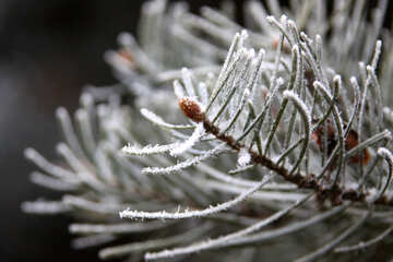 Spruce needles in hoarfrost №424
