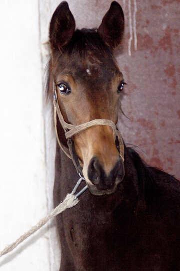 Puledro di razza cavallo di ucraini №461