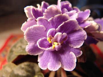 Violet №453