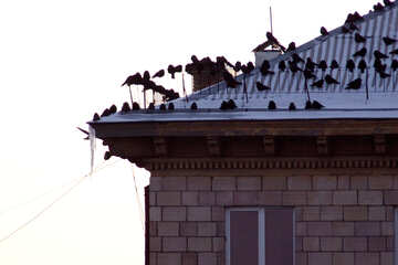 A flock of crows on the roof of the house №781