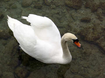 White swan floating in the clear water with rocky bottom. №384