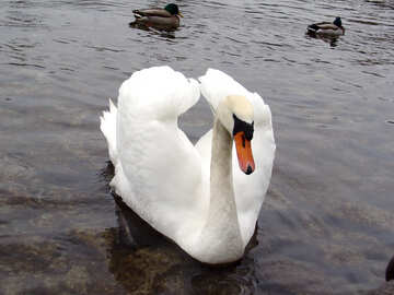 White Swan folded its wings in the form of heart on the background of ducks. №385
