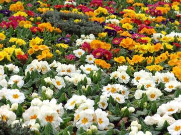 Amarillo, blanco, rojo, flores de color azul en el cantero.  №392