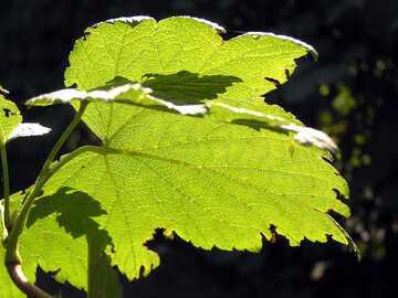 Vine leaf translucent in the sun №332