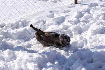 Dwarf pig lying in the snow №735