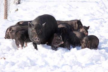 Family mini pigov in the snow №742