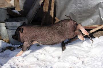 Jump pig №736