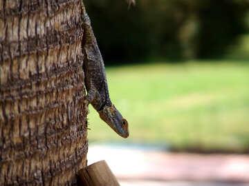 The lizard №260