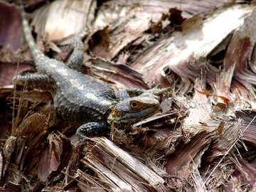 Lizard on palm tree bark №266
