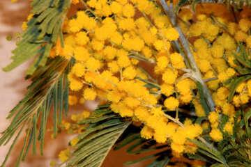 Frühling Mimose №959