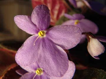 Violet flower macro №455
