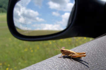 The grasshopper sits on car door №671
