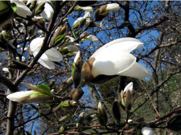 The white magnolia. Buds №549