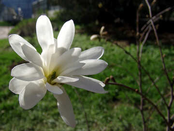White magnolia flower №536