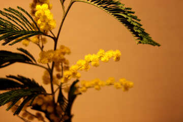 Flowers mimosa. Large №963
