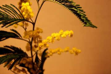 Fiori mimosa. Grande №963