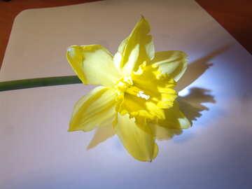 Narcissus №176