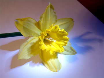 Narcissus yellow №522